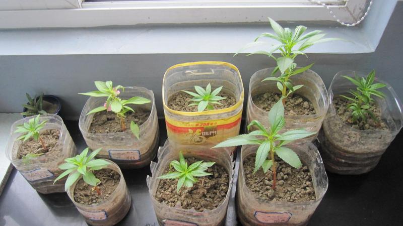 队员们在老师的带领下用废弃的塑料瓶制成了形式各异的花盆,自从种下