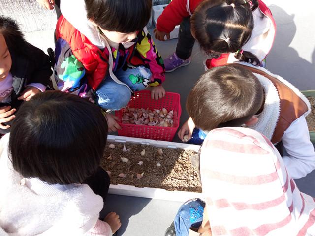 为了让幼儿更加了解大蒜的生长过程,体验种植的乐趣,老师让孩子们自己